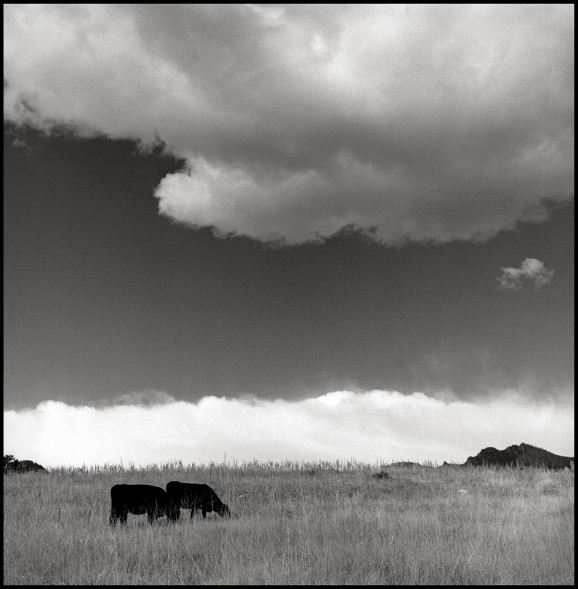 Cows and Flatirons